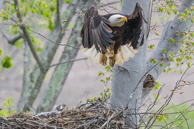 Female bald eagle taking off from the nest while a baby bald eagle watches. Port Washington, OH USA