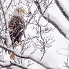 Adult Bald eagle sitting on a snow covered limb while it is snowing. Port Washington, OH USA