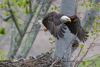 Male bald eagle in flight after leaving the nest.  Port Washington, OH USA