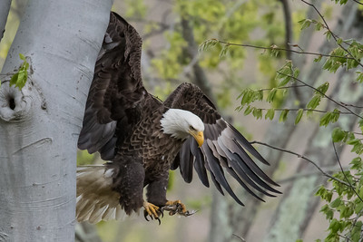 Male bald eagle bringing a small fish into the nest. Port Washington, OH USA