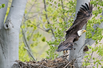 Female bald eagle in flight after leaving the nest.  Port Washington, OH USA