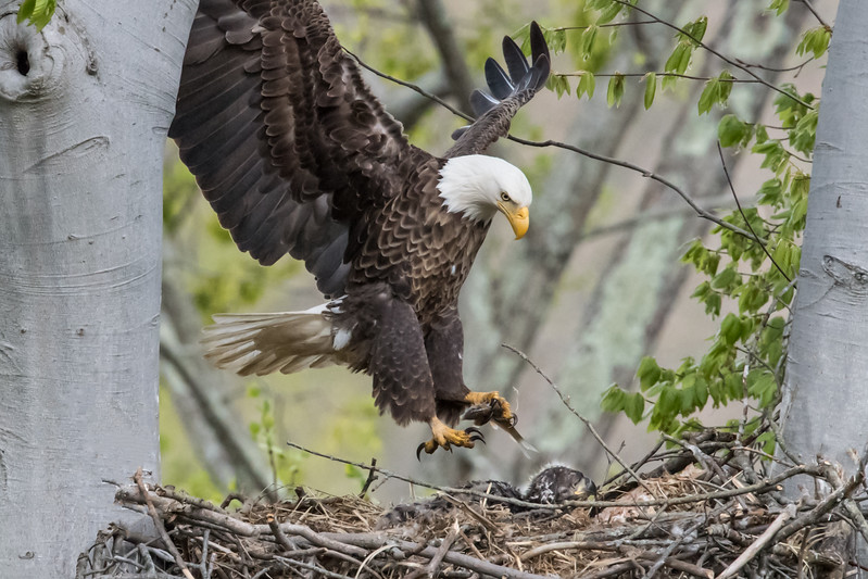 Male bald eagle bringing a small fish into the nest. Port Washington, OH USA