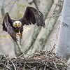 Female bald eagle in flight after leaving the nest. Port Washington, OH USA