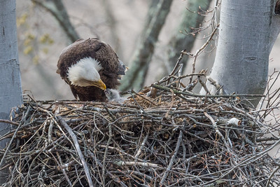 Female bald eagle feeding baby bald eagle. Port Washington, OH USA