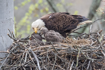 Female bald eagle teaching a baby bald eagles to open a turtle shell in the nest. Port Washington, OH USA