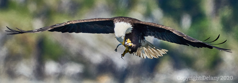 Bald Eagle eating hake