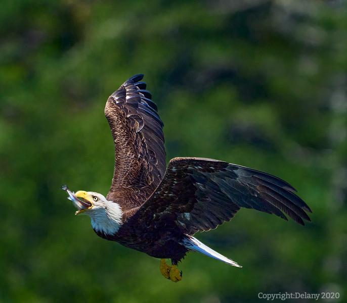 Bald Eagle Sushi