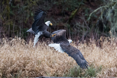 Adult bald eagle attacking another adult bald eagle. Food was scarce as the salmon carcasses were washed away by a flash flood on the Skagit River.