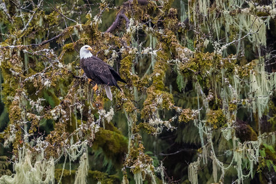 Adult bald eagle resting in a tree with moss and hanging old man's beard lichen.