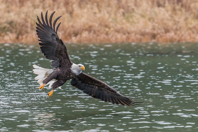 Adult bald eagle after trying to grab a fish from the Skagit River. This time the bald eagle missed.