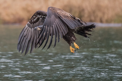 Immature bald eagle after trying to grab a fish from the Skagit River.