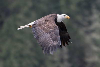 Adult bald eagle in flight.
