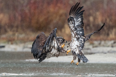An immature bald eagle attacking another immature bald eagle which is trying to avoid the attack.