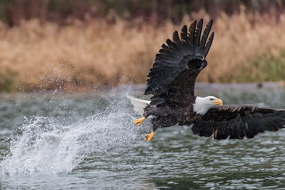 Adult bald eagle in flight after grabbing a fish from the Skagit River.