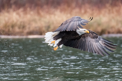 Adult bald eagle in flight after grabbing a fish in the Skagit River.