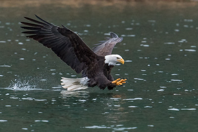 Adult bald eagle getting ready to grab a fish with wings, tail, and claws/talons extended.