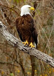 Bald_Eagle-03