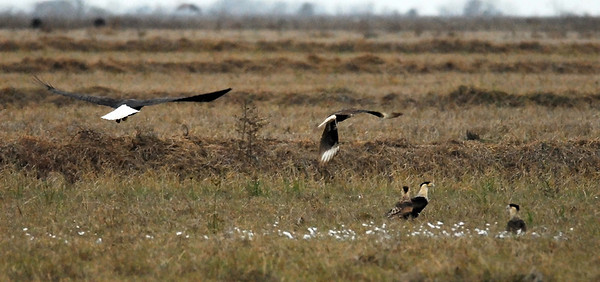 Bald Eagles and Crested Caracara