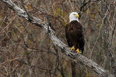 Bald Eagle Perched in Brazos Bend State Park