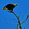 Eagle Yak Yak