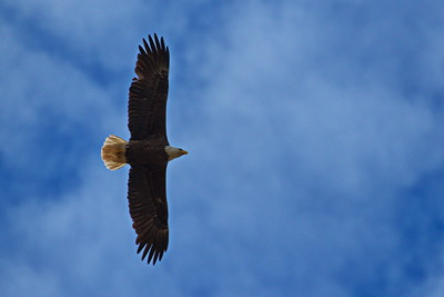 Washington_County_Bald_Eagle_Flying_D50_1499