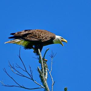 Eagle Say Ahh