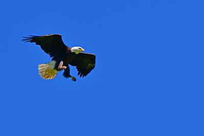 Eagle Hovering