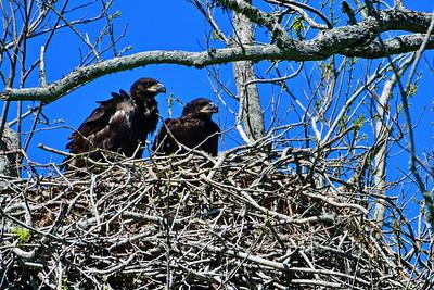 Bald Eagles:  Flight Shots, Nest and Chicks