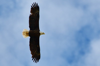 Washington_County_Bald_Eagle_Flying_Best_One_D50_1500