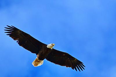 Bald Eagles of Washington County