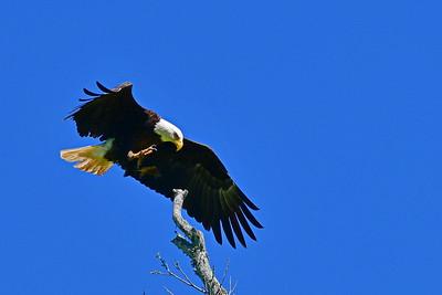 Eagle Decending