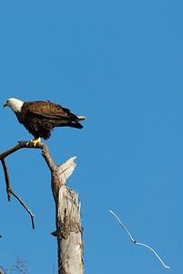 Bald_Eagle8_WCW943