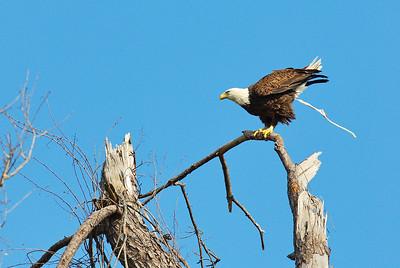 Bald_Eagle6_WCW0942