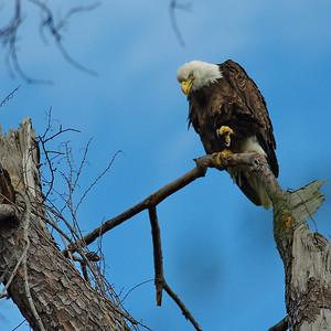 Bald_Eagle25_WCW1026