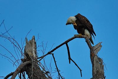 Bald_Eagle13_WCW0961