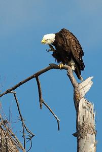 Bald_Eagle18_WCW0991