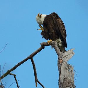 Bald-Eagle26_WCW1034