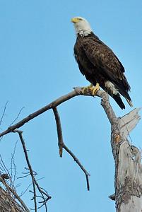 Bald_Eagle10_WCW0954