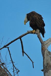 Bald_Eagle_WCW0978