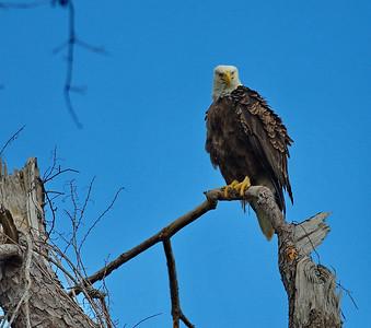 Bald_Eagle21_WCW1016