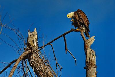 Bald_Eagle19_WCW0993