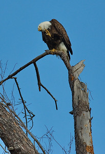 Bald_Eagle20_WCW1002