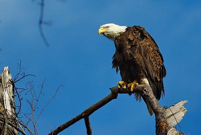 Bald_Eagle29_WCW1068