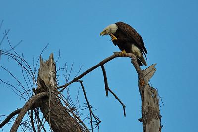 Bald_Eagle12_WCW0958