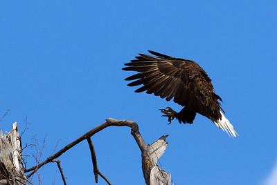 Bald_Eagle2_WCW0933