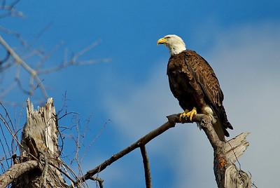 Bald_Eagle21_WCW1007
