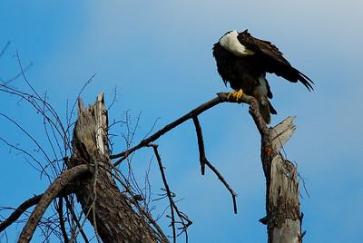 Bald_Eagle14_WCW0973