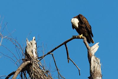 Bald_Eagle9_WCW0948