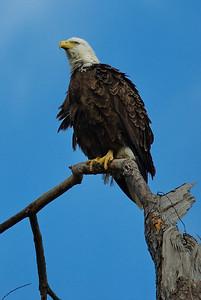 Bald_Eagle24_WCW1022
