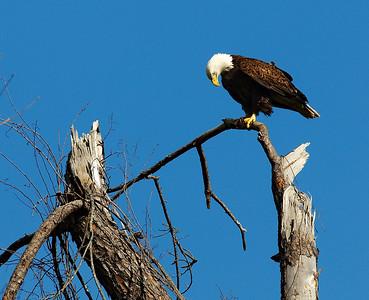 Bald_Eagle5_WCW0940